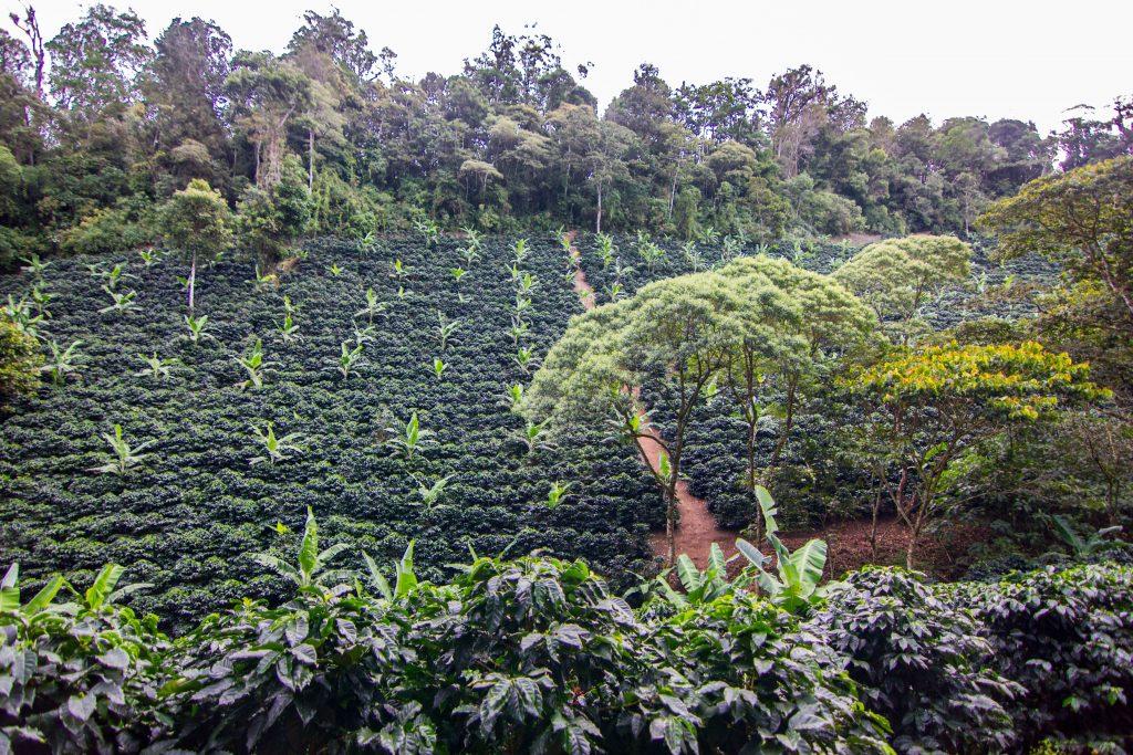 kávová plantáž v Nikaragui